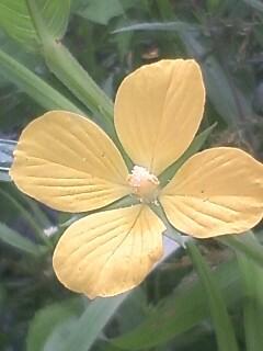 花あるき・2012 [97] ヒレタゴボウ