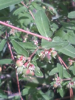 花あるき・2012 [98] オオニシキソウ