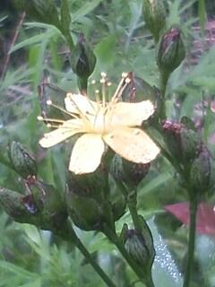 花あるき・2012 [105] オトギリソウ