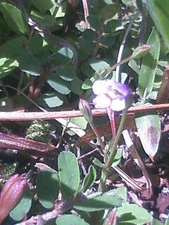 花あるき・2012 [106] ウリクサ
