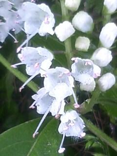 花あるき・2012 [109] シモバシラ