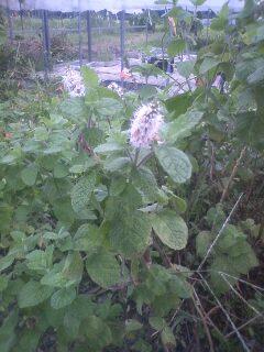花あるき・2012 [111] マルバハッカ