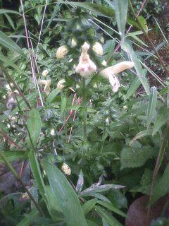 花あるき・2012 [113] キバナアキギリ