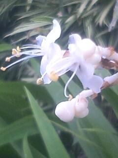 花あるき・2012 [115] ヤブミョウガ