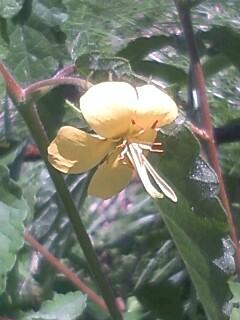 花あるき・2012 [116] カラスノゴマ