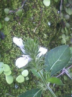 花あるき・2012 [117] キツネノマゴ