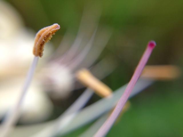 花マクロ・2013 [113] シロバナヒガンバナ