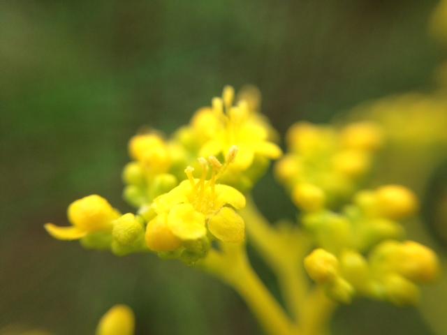 花マクロ・2013 [121] オミナエシ