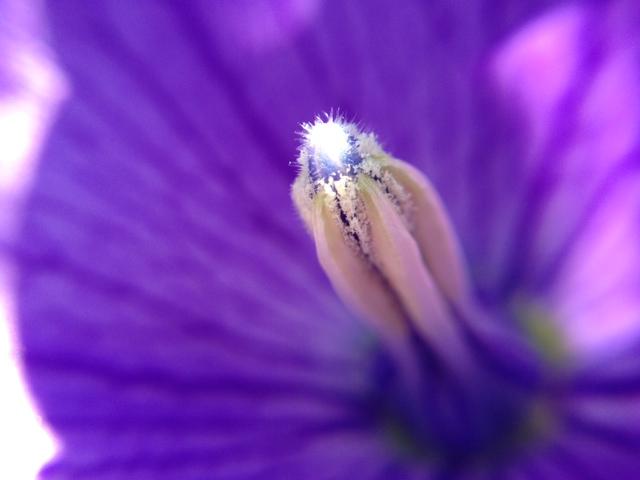 花マクロ・2013 [126] キキョウ