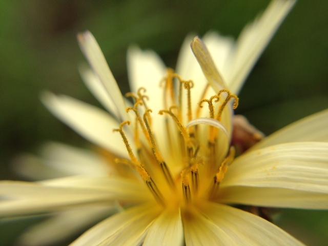 花マクロ・2013 [148] アキノノゲシ