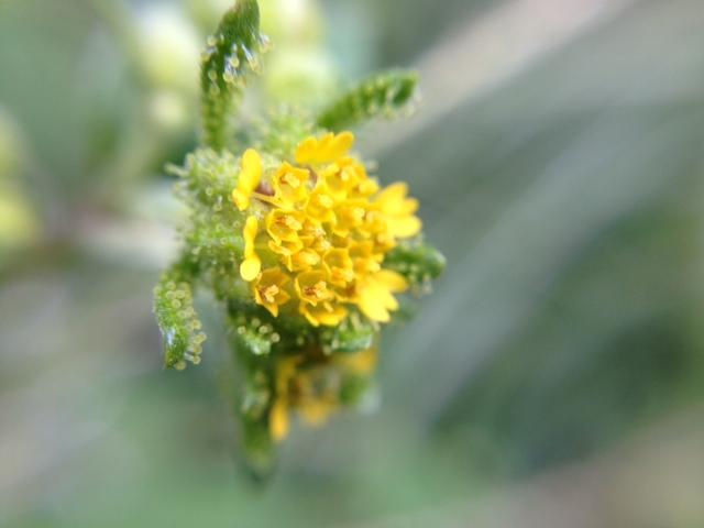 花マクロ・2013 [183] メナモミ