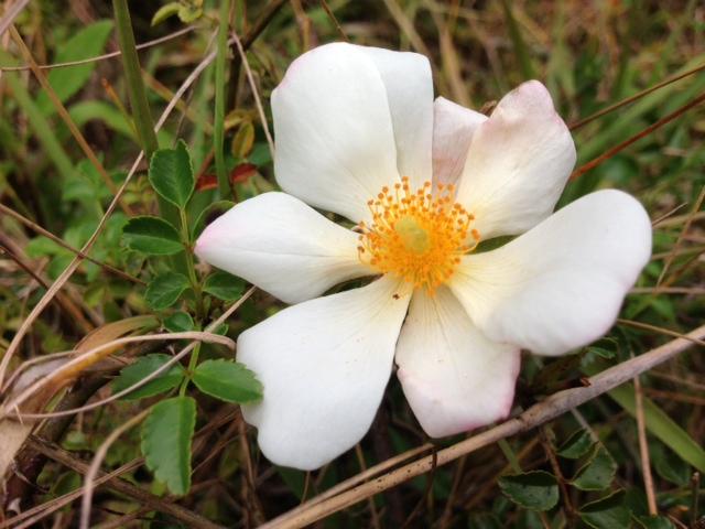 花あるき・2013 [15] テリハノイバラ