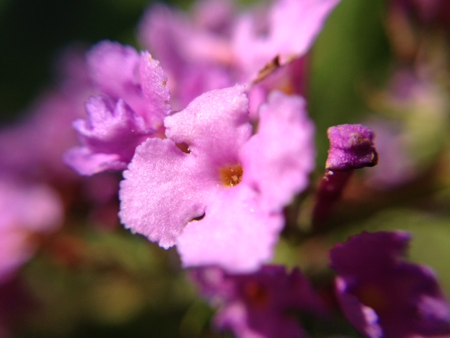 花マクロ・2013 [192] フサフジウツギ