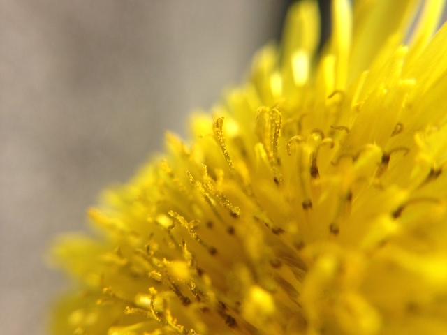 花マクロ・2014 [6] ノゲシ