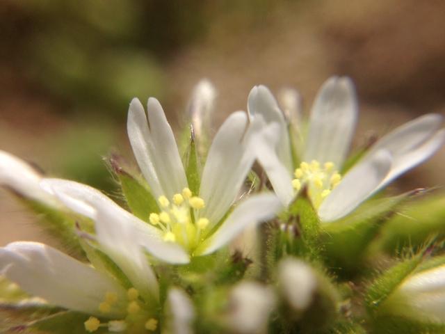 花マクロ・2014 [18] オランダミミナグサ