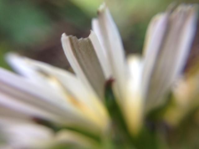 花マクロ・2014 [20] シロバナタンポポ