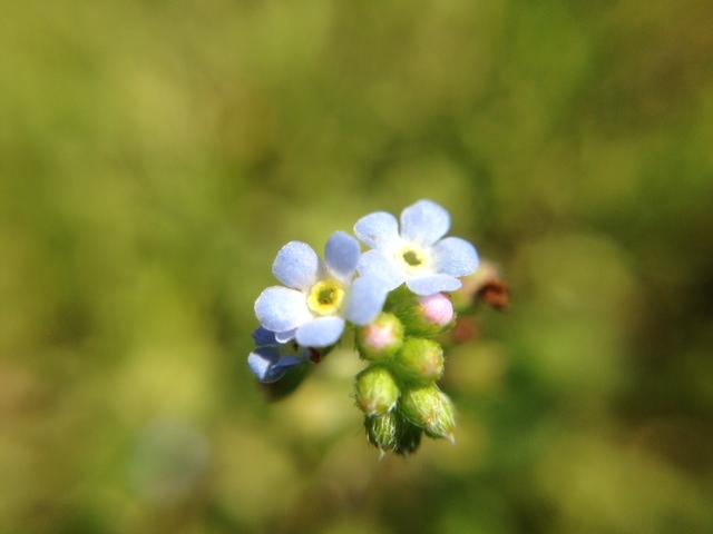 花マクロ・2014 [21] キュウリグサ