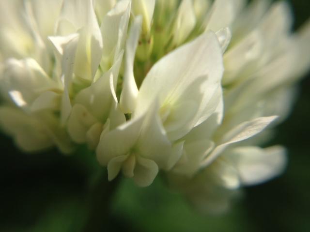 花マクロ・2014 [34] シロツメクサ