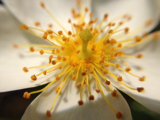 花マクロ・2014 [83] テリハノイバラ