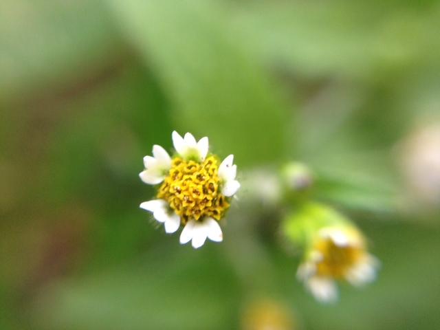 花マクロ・2014 [90] ハキダメギク