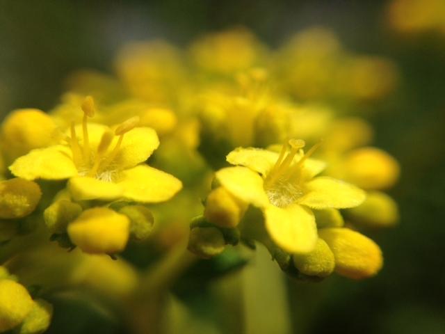 花マクロ・2014 [94] オミナエシ