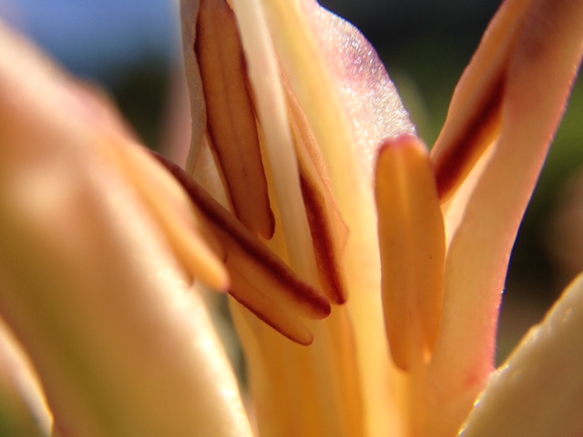 花マクロ・2014 [104] シロバナヒガンバナ