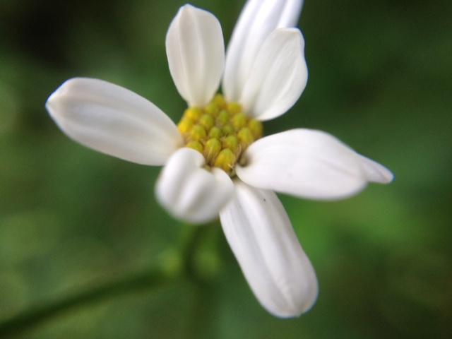 花マクロ・2014 [142] シラヤマギク