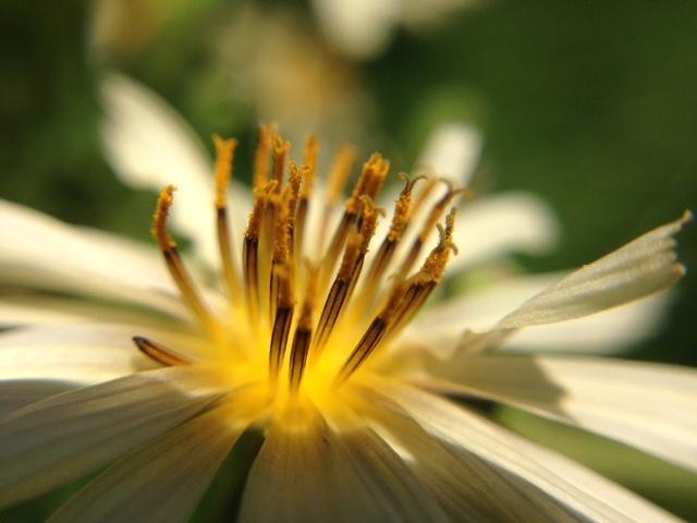 花マクロ・2014 [149] アキノノゲシ
