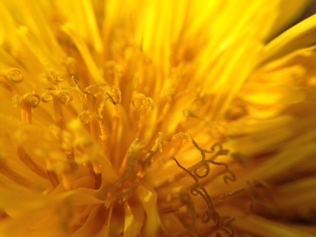 花マクロ・2015 [1] セイヨウタンポポ