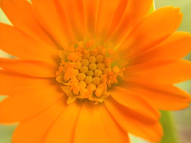 花マクロ・2015 [24] ヒメキンセカ