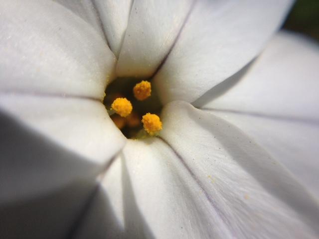 花マクロ・2015 [27] ハナニラ