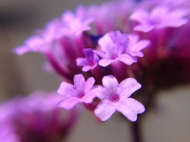 花マクロ・2015 [73] ヤナギハナガサ