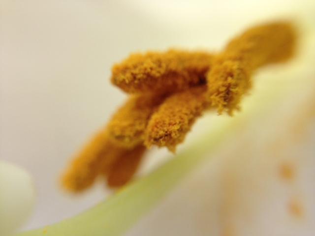 花マクロ・2015 [90] タカサゴユリ