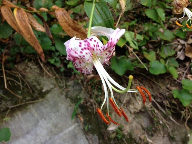 花マクロ・2015 [91] カノコユリ