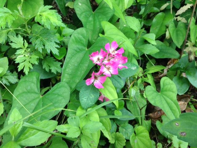 花あるき・2015 [3] サクラバラ