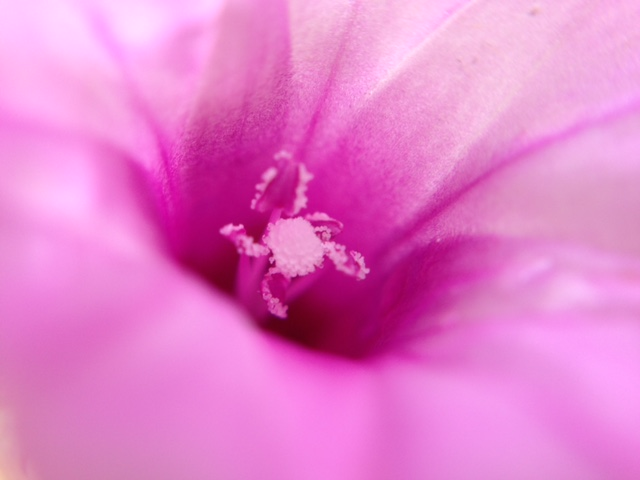 花マクロ・2015 [121] ホシアサガオ