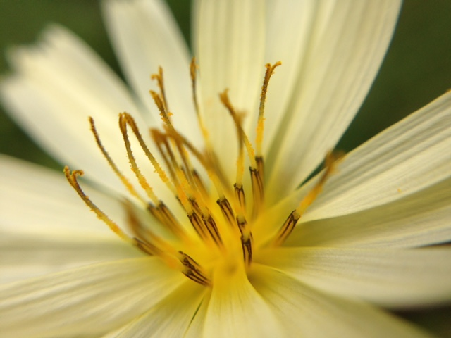 花マクロ・2015 [150] アキノノゲシ