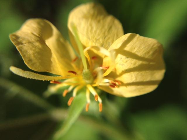 花マクロ・2015 [152] カラスノゴマ