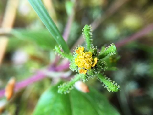 花マクロ・2015 [168] コメナモミ
