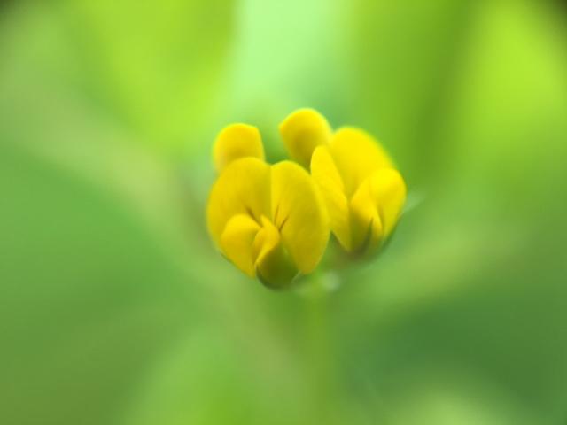 花マクロ・2016 [51] ウマゴヤシ