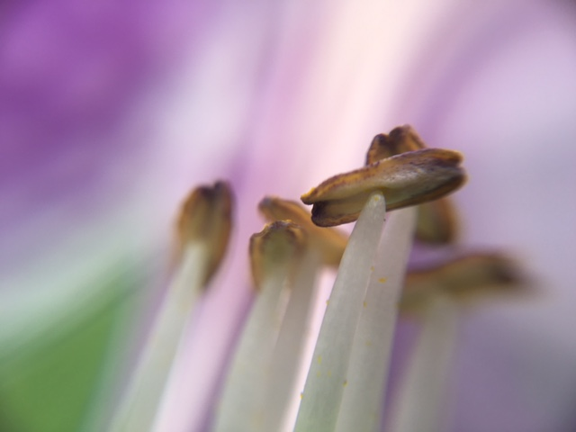 花マクロ・2016 [87] コバギボウシ