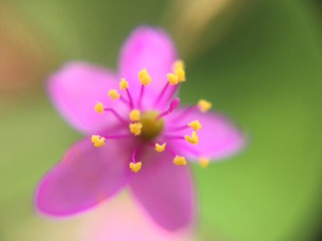 花マクロ・2016 [88] ハゼラン