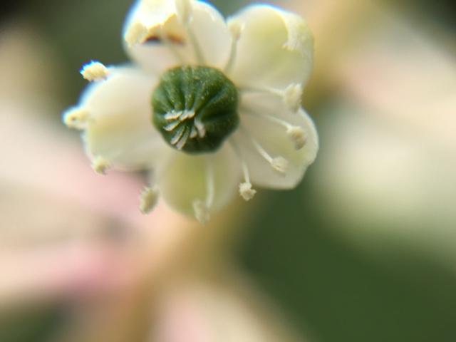 花マクロ・2016 [100] ヨウシュヤマゴボウ