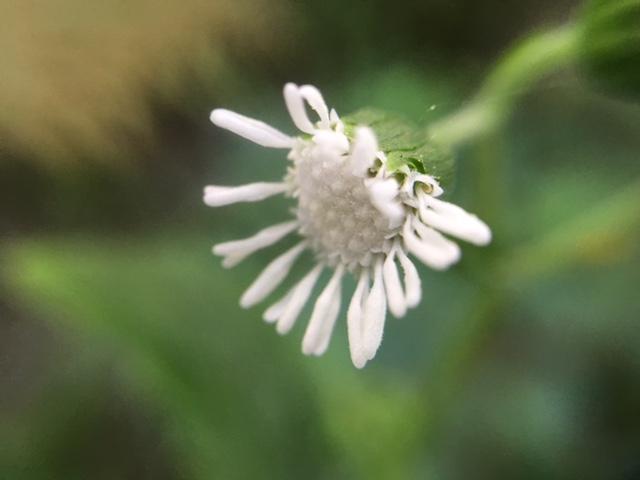花マクロ・2016 [122] ヌマダイコン