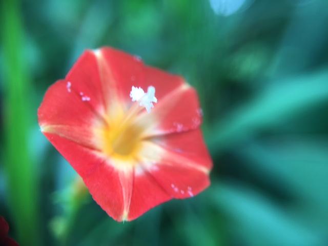花マクロ・2016 [128] マルバルコウソウ