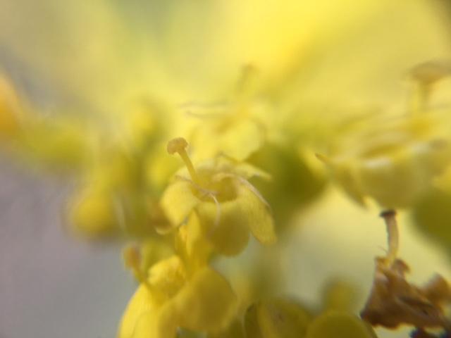 花マクロ・2016 [142] オミナエシ