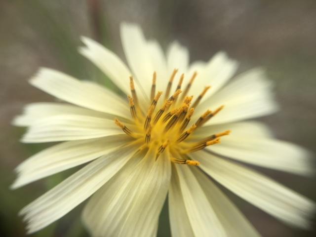 花マクロ・2016 [165] アキノノゲシ