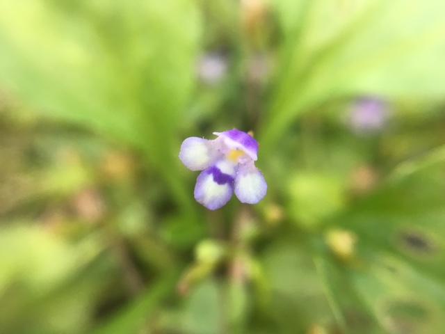 花マクロ・2016 [167] ウリクサ
