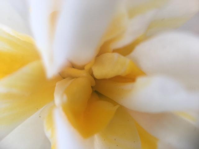 花マクロ・2017 [3] ニホンズイセン