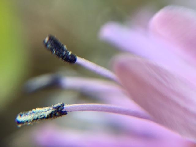 ふるさとの春 [1] ショウジョウバカマ